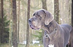 Great Dane dog in forest Royalty Free Stock Photos