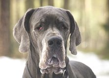 Great Dane dog portrait Stock Photos