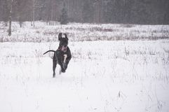 Great Dane dog run Royalty Free Stock Image