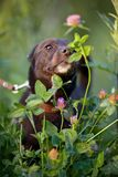 The black doggie smells a clover flower. Royalty Free Stock Images