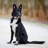 Black Doggie on walk. Royalty Free Stock Image