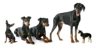 Black dogs Stock Photo