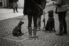 Black dogs in leash, looking up at masters, waiting in obedience Stock Photo