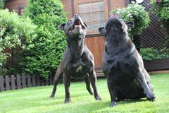 Black Dogs playing in a garden looking up Stock Photo