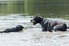 Black dogs are playing in the water Royalty Free Stock Image