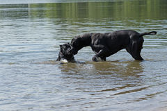 Black dogs are playing in the water Stock Images