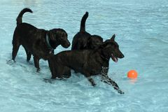 Black Dogs at the Pool. Two Black Labrador Retrievers and an unknown breed playing in a pool Royalty Free Stock Photo