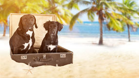 Black dogs posed in old vintage suitcase on beach. Royalty Free Stock Photo