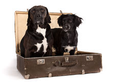 Black dogs posed in old vintage suitcase in studio. Stock Images