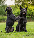 Black dogs posing together. Stock Image