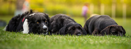 Black dogs posing together. Royalty Free Stock Images