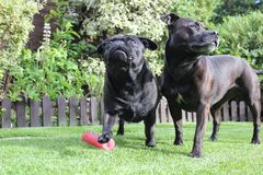 Black Dogs stood together on grass Stock Photos