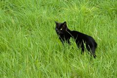 Black domestic cat standing in high wild grass stock photography