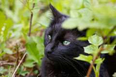Black domestic cat in nature, enjoying freedom Royalty Free Stock Photography