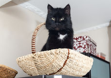 Black domestic cat Royalty Free Stock Photography