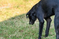 Free Black Domestic Dog Are Vomit Mucus Royalty Free Stock Photo - 144403895