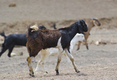 Goat. Domestic Indian Goat in mixed Black and White Colouration Royalty Free Stock Photos