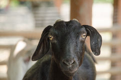 Black domestic goat Stock Photography