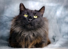 Black Domestic Long Hair Cat Stock Image