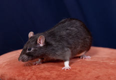 Black domestic rat Royalty Free Stock Images