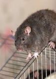 The black domestic rat Stock Image