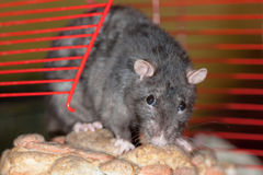 Black domestic rat Stock Photo