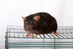 Black domestic rat. On a cage close up Stock Image