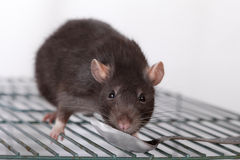 Black domestic rat eats yoghurt Stock Photos