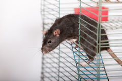 Black domestic rat Stock Images