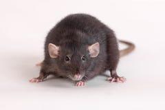 Black domestic rat Stock Images