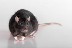 Black domestic rat Royalty Free Stock Photography