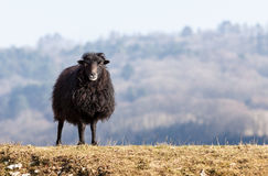 Black Domestic Sheep Royalty Free Stock Photos