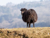 Black Domestic Sheep Stock Photos