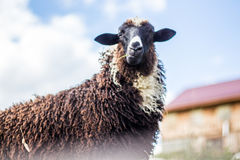 Black Domestic Sheep Stock Photography