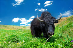 Black domesticated yak Royalty Free Stock Image