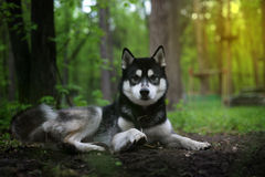 Black domineering dog breed siberian husky paw raised Stock Photography