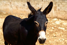 Black Donkey. On brown background Royalty Free Stock Image
