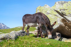 The black donkey feeds by grass Stock Photography