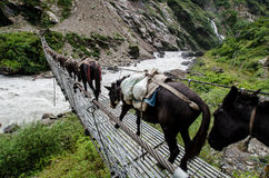 Black Donkeys Crossing A Bridge. Above the river in Nepal, the Anapurna Circuit trek Royalty Free Stock Images