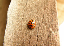 Black dot Red Ladybug Climbing on the wooden Wall Royalty Free Stock Photo