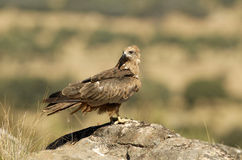 Black dove perches on a rock in the field Stock Photo