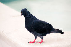Black dove photograph Royalty Free Stock Photography