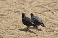 Black Dove. Dove walking on Beach the sunshine Royalty Free Stock Photos