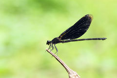 Black dragonfly Stock Photo