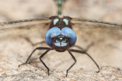 Black dragonfly with blue eyes. Macro portrait Royalty Free Stock Photography