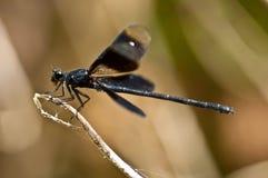 black dragonfly Royalty Free Stock Photo