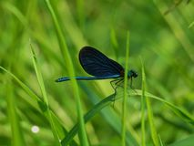 Black dragonfly. In the grass Stock Image