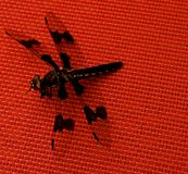 Black Dragonfly on Red Table. Close ups of a black dragonfly on a red table cloth, showing the intricate wing patterns. They are symbols of courage, strength and stock images