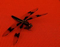 Black Dragonfly on Red Table. Close ups of a black dragonfly on a red table cloth, showing the intricate wings patterns. They are symbols of courage, strength royalty free stock photography