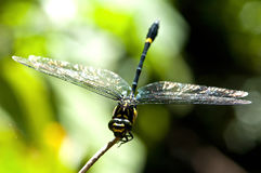 black dragonfly Royalty Free Stock Photography